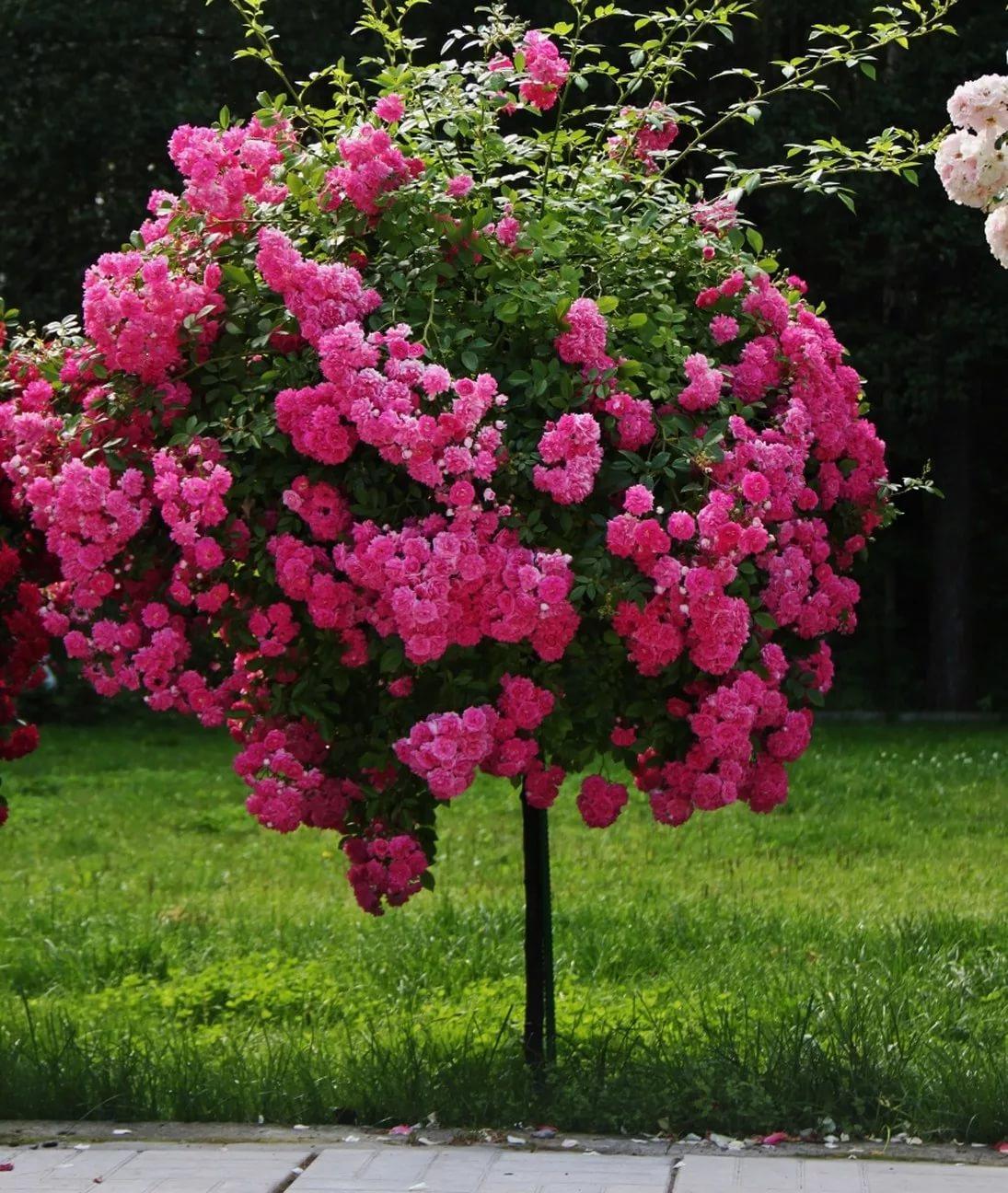дерево штамбы розы